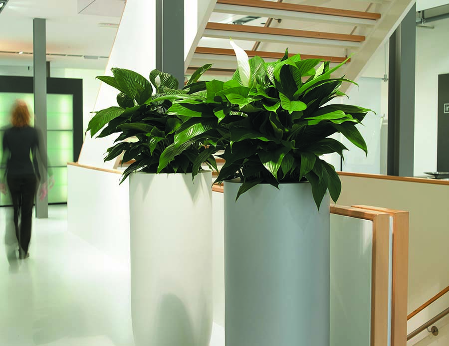 Lush healthy live Spathyphyllum plants (Peace Lilies) designed to make a statement in an office stairwell