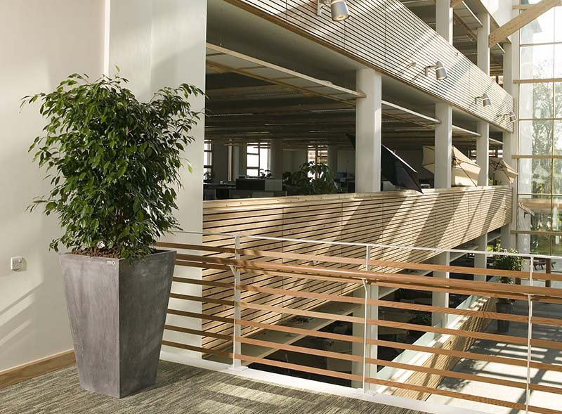 Tall live Enviroculture Ficus plant in a tapered grey planter on a bright atrium landing in a biophilic office building