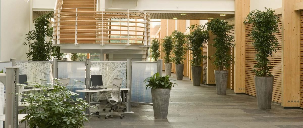 Bright, airy office atrium space with several large Enviroculture Ficus trees in grey stone effect eco-friendly planters
