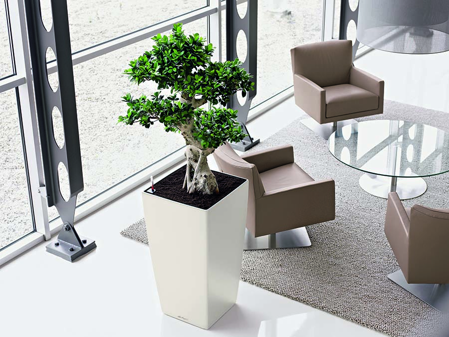 Modern office reception area with live Ficus Microcarpa Bonsai specimen plant in tall tapered square designer container, plant